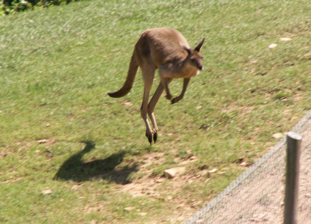 How much conservation is really on any one's mind is a big question. People come because it's fun to see herds of kangaroos on American soil, some up close.