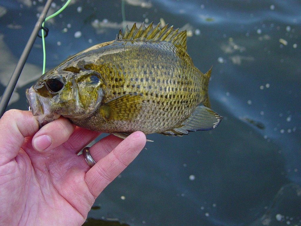 Fishing and thinking in minnesota june 2006 for Rock bass fish