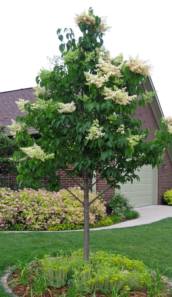 Superbe My Japanese Tree Lilac (Syringa Reticulate U0027Ivory Silku0027) Is Just Beginning  To Bloom. It Doesnu0027t Smell Quite As Heavily As Some Other Lilacs, ...