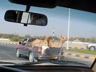 camels riding the car
