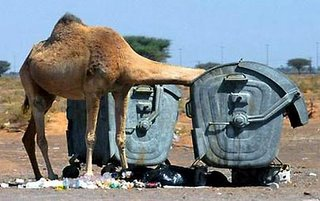 camel eats our of the trash