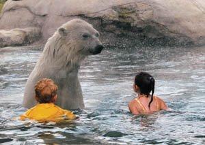Koupání s polárními medvědy
