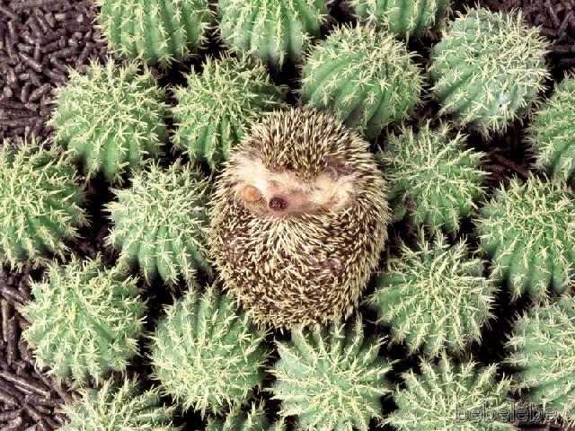 Hedgehog Pet For Sale