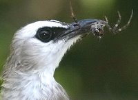 Yellow-vented Bulbul: Food for the nestlings