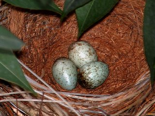 Tang's nesting crows 1: Whose eggs are these?