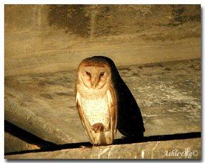 Mobbing of a Barn Owl