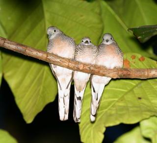 ZEBRA DOVES – 11. The return of the doves