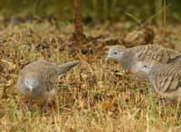 ZEBRA DOVES – 18.  The doves are visiting 271005