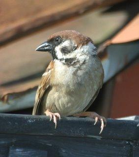 The Eurasian Tree Sparrow in Urban Singapore