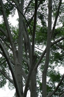 The fig tree at Bukit Timah: 1. Efforts at documentation