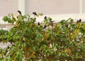 More on Javan Mynas