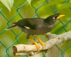 The ubiquitous Javan Myna