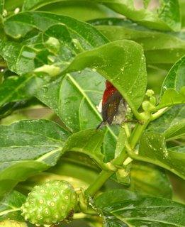 Crimson Sunbirds and the noni tree