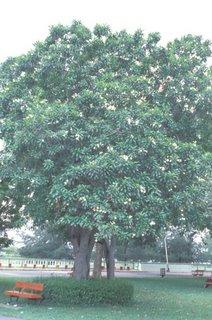 Pong pong tree