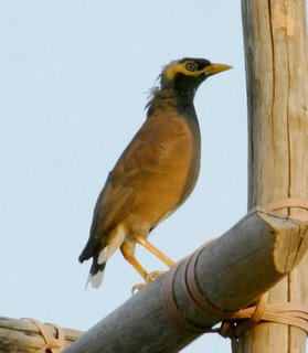 Bald headed mynas