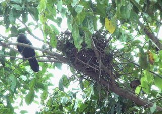 Angie's nesting crows – 1. A nest in the making