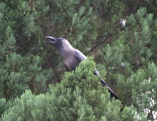 Mobbing of predator birds