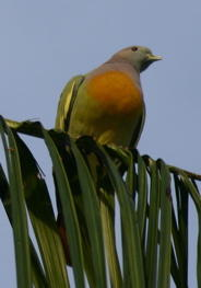 Pink-necked Green Pigeons 1: The search for information