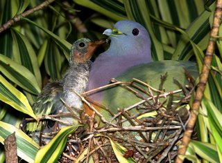 Pink-necked Green Pigeons 4: The birds have flown the nest