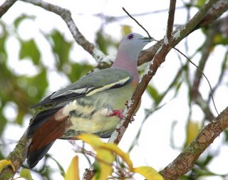 Pink-necked Green Pigeons 2: Nest building