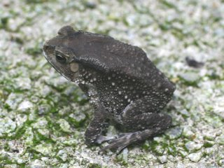 Of termites and toads
