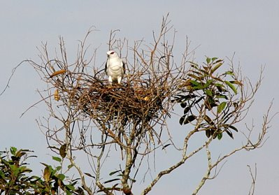 Attack on the Black-shouldered Kite's nest