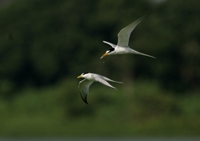 Little Terns: Courtship behaviour