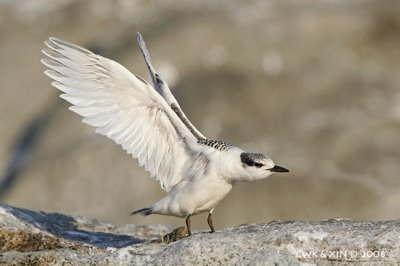 Black-naped Tern's first flight