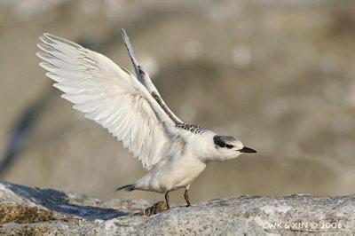 Black-naped Tern's first flight