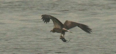 White-bellied Fish-eagle fishing a rat