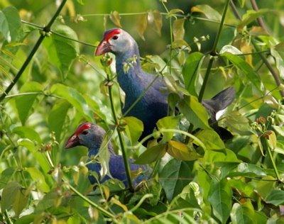 Purple Swamphen and its habitat
