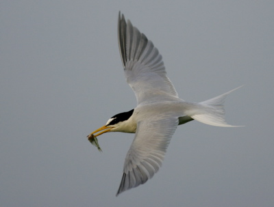 Little Terns: Foraging behaviour