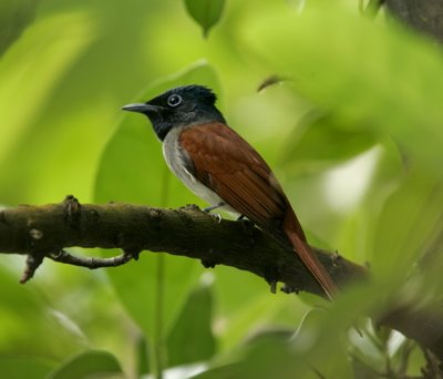 Arrival of the Asian Paradise-flycatcher