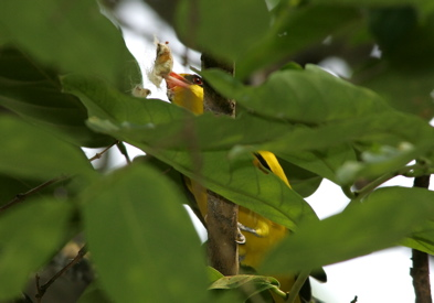 Black-naped Oriole manipulating a cocoon