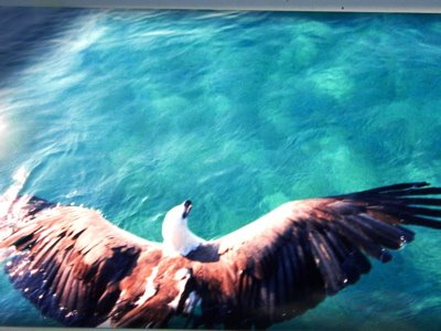 Landing a Brahminy Kite in the Andaman