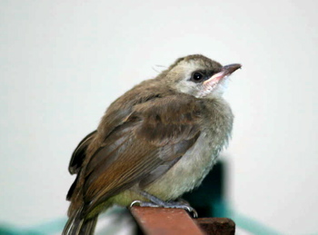 Yellow-vented Bulbul: Drying after the rain?
