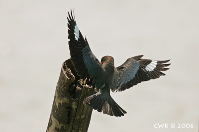 Nesting of Dollarbirds