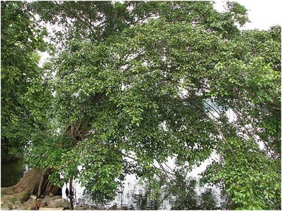 The fig tree at Upper Seletar