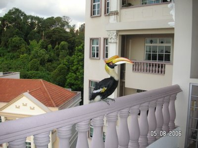 Another visit by the Great Hornbill