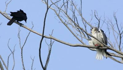 Black-shouldered Kite and the House Crow