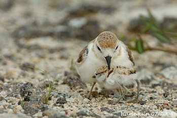 Malaysian Plover: The cryptic chicks