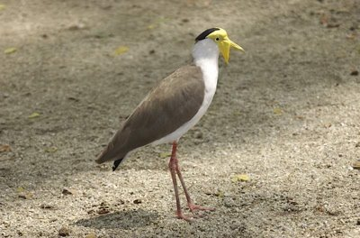 Can the Masked Lapwing be considered a feral species?