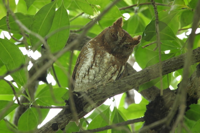 Oriental Scops-owl: The bird
