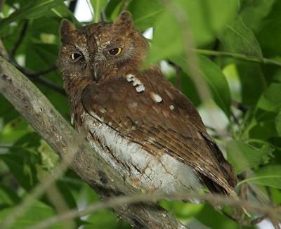 Oriental Scops-owl: Addendum