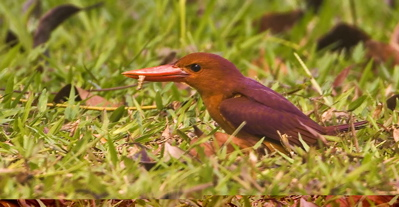 Ruddy Kingfisher: Eating a snail, then casting a pellet