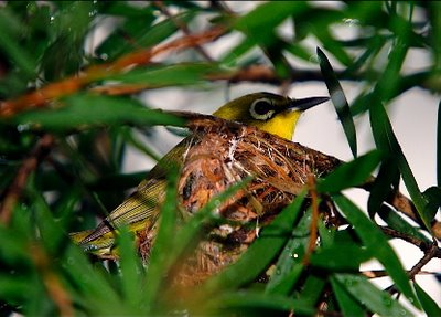 Nesting of the Oriental White-eye