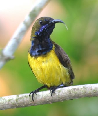 How sunbirds harvest nectar from flowers