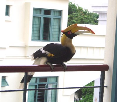 A Great Hornbill came for a visit