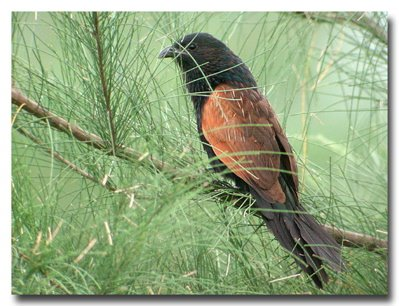 An encounter with a Lesser Coucal along the ECP