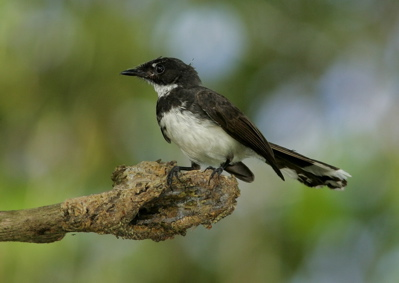 Antics of the Pied Fantail